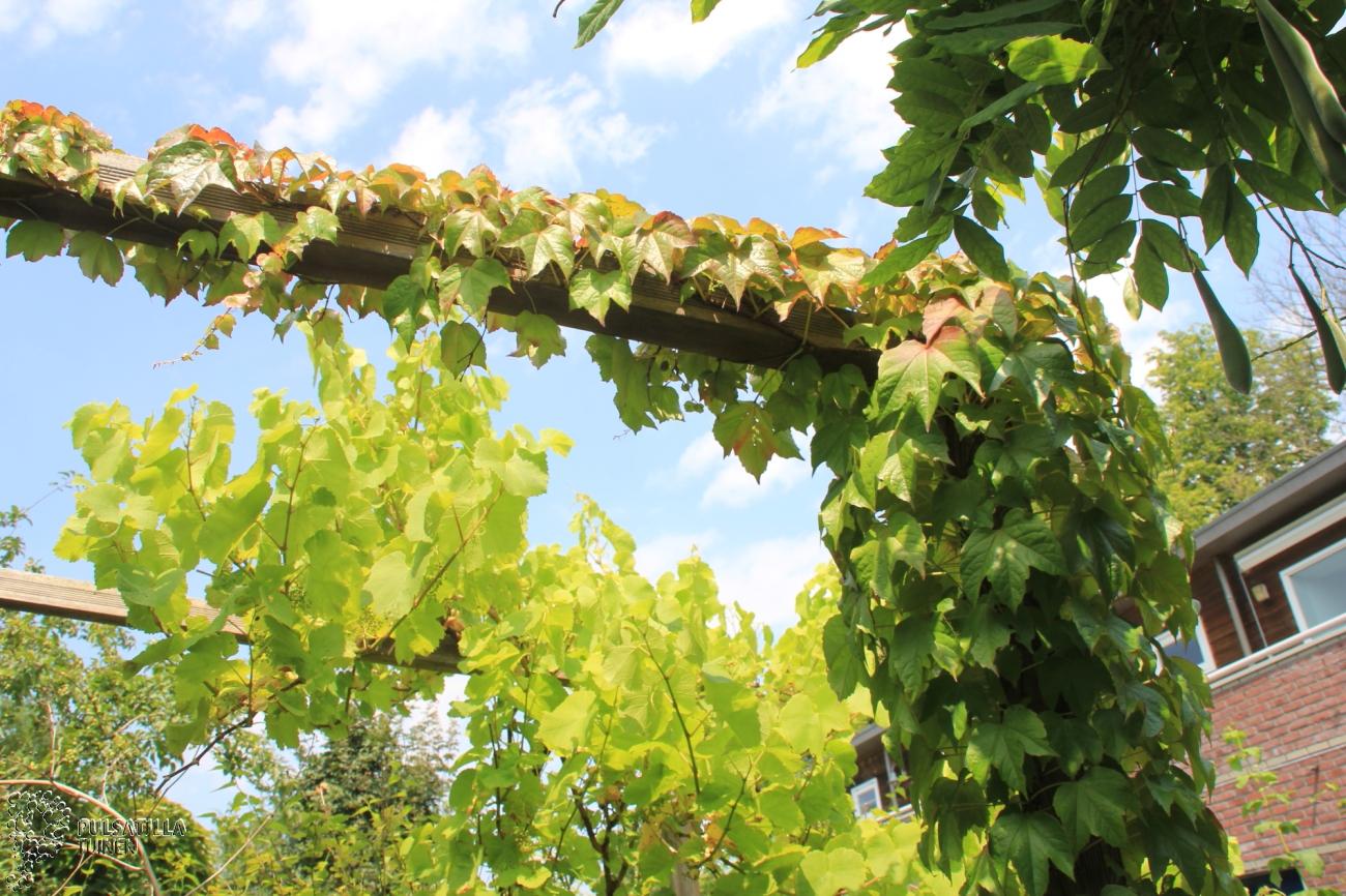 Klimplanten pulsatilla tuinen for Bedek zijn pergola