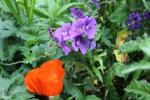 paarse_geranium_ren