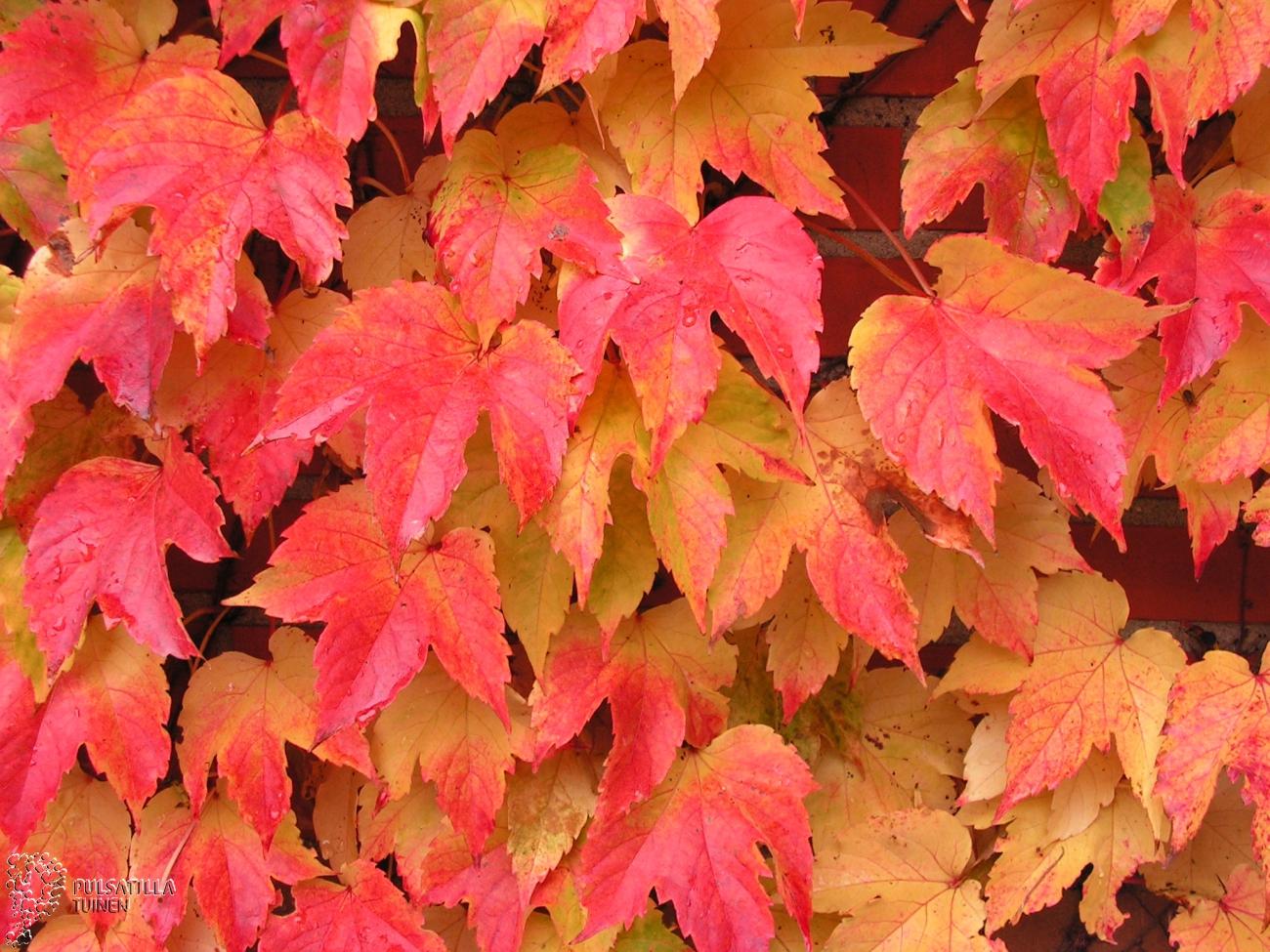 Wingerd met herfstkleuren