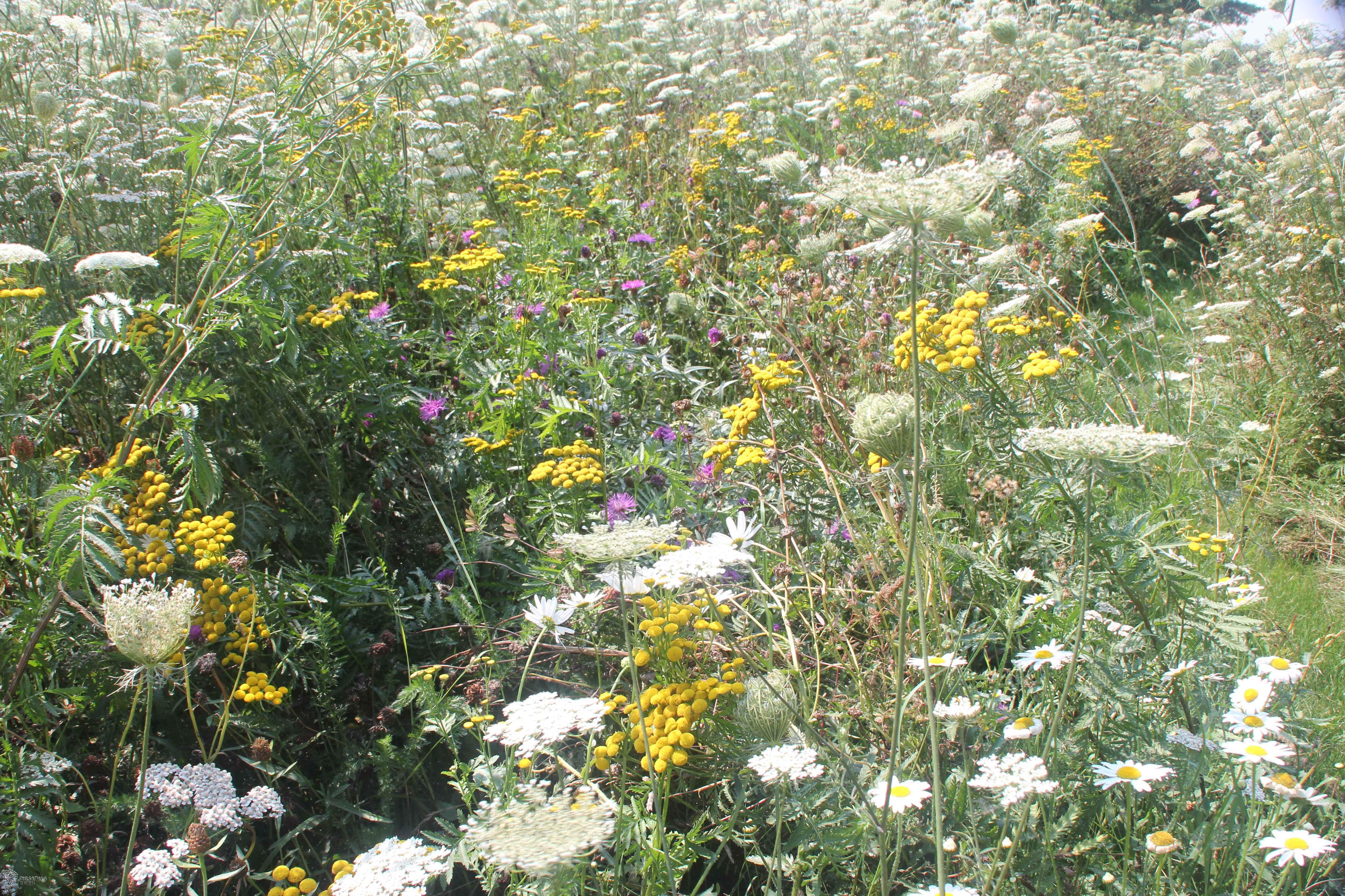 bloemenweide-2de-jaar-wilde-peen-closeup