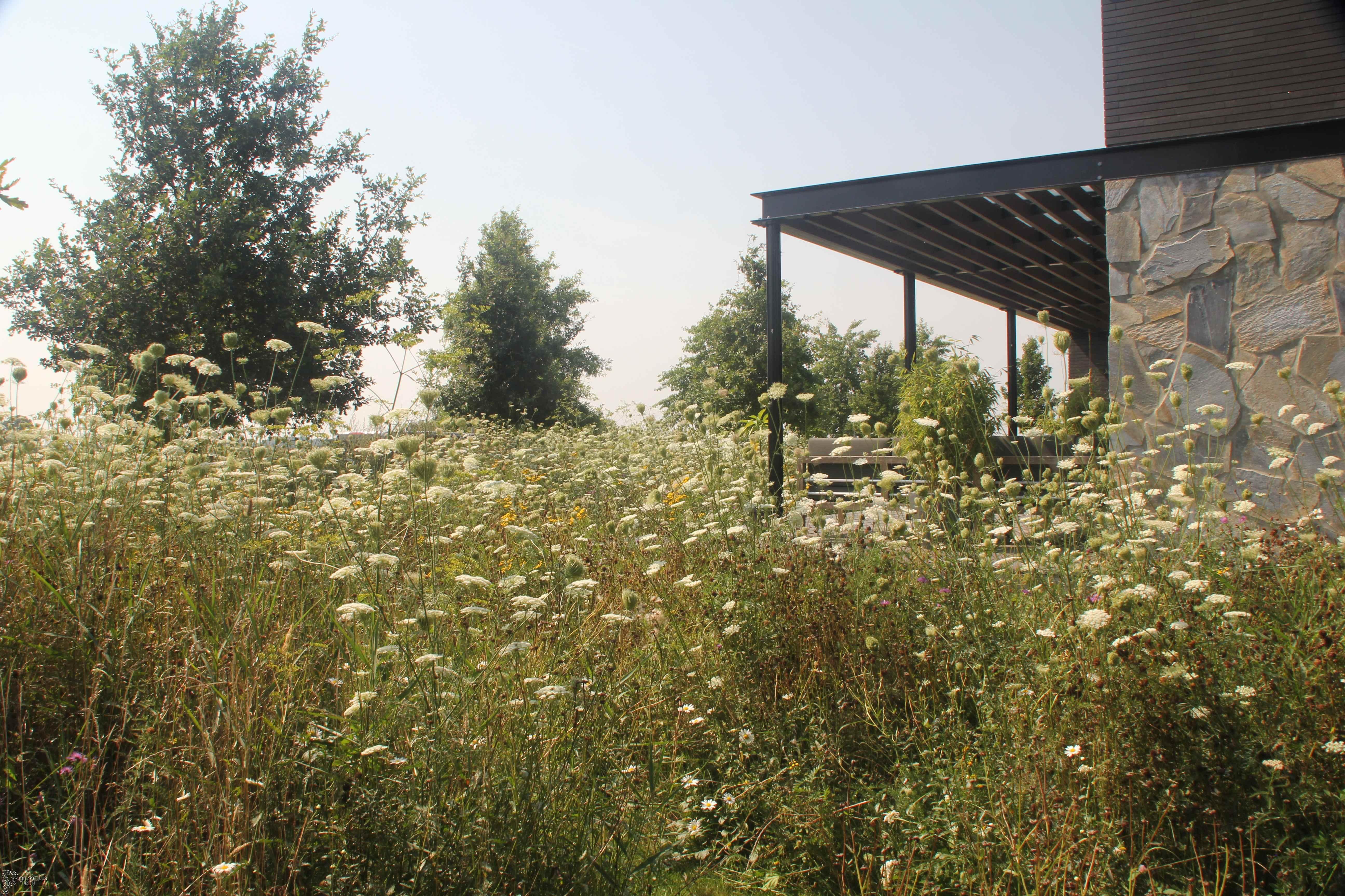 bloemenweide-2de-jaar-wilde-peen3