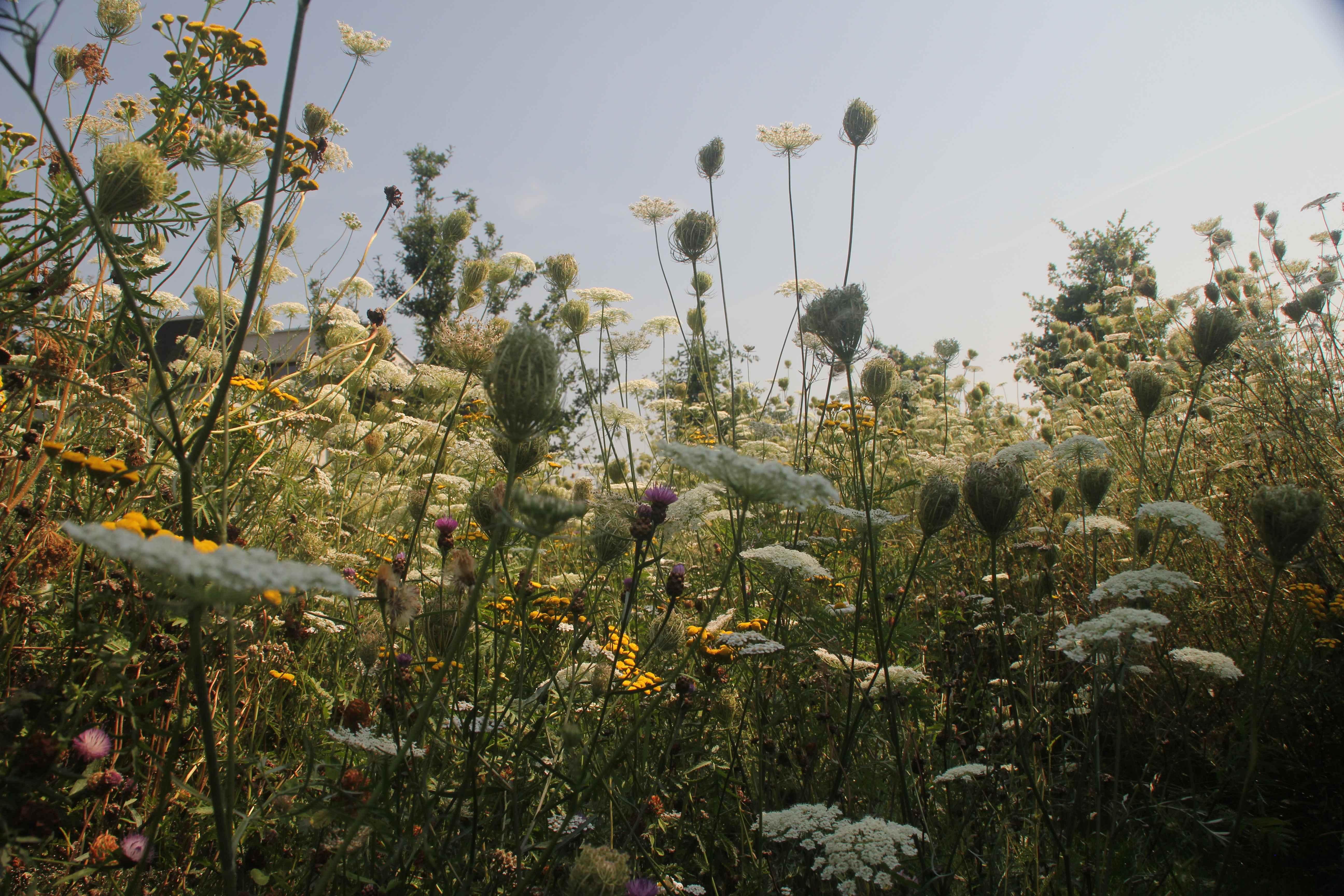 bloemenweide-2de-jaar-wilde-peen-closeup2