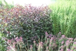 eupatorium_chocolate_inro