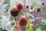 uitgebloeide_echinaceae