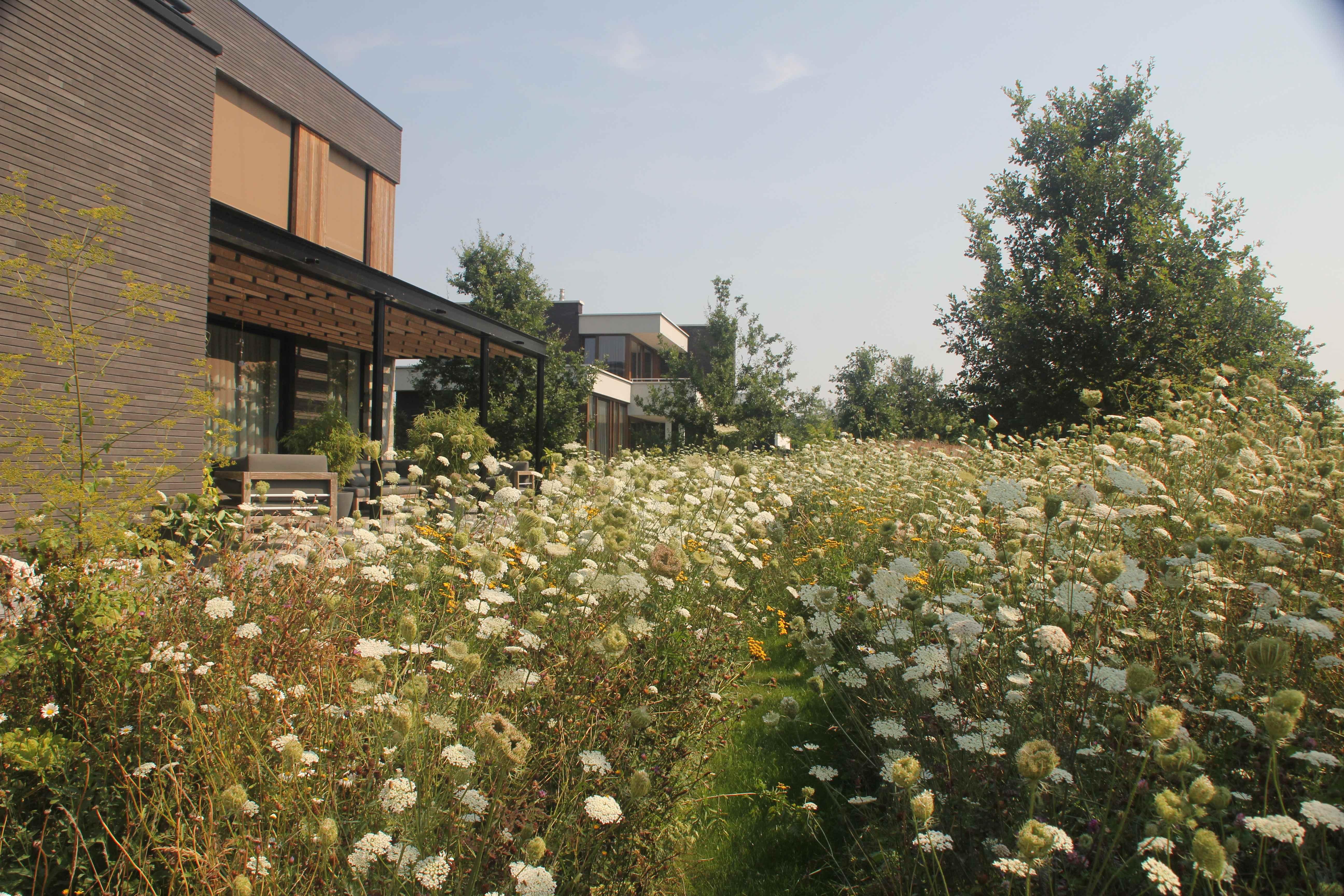 bloemenweide-zomer-2de-jaar-wilde-peen