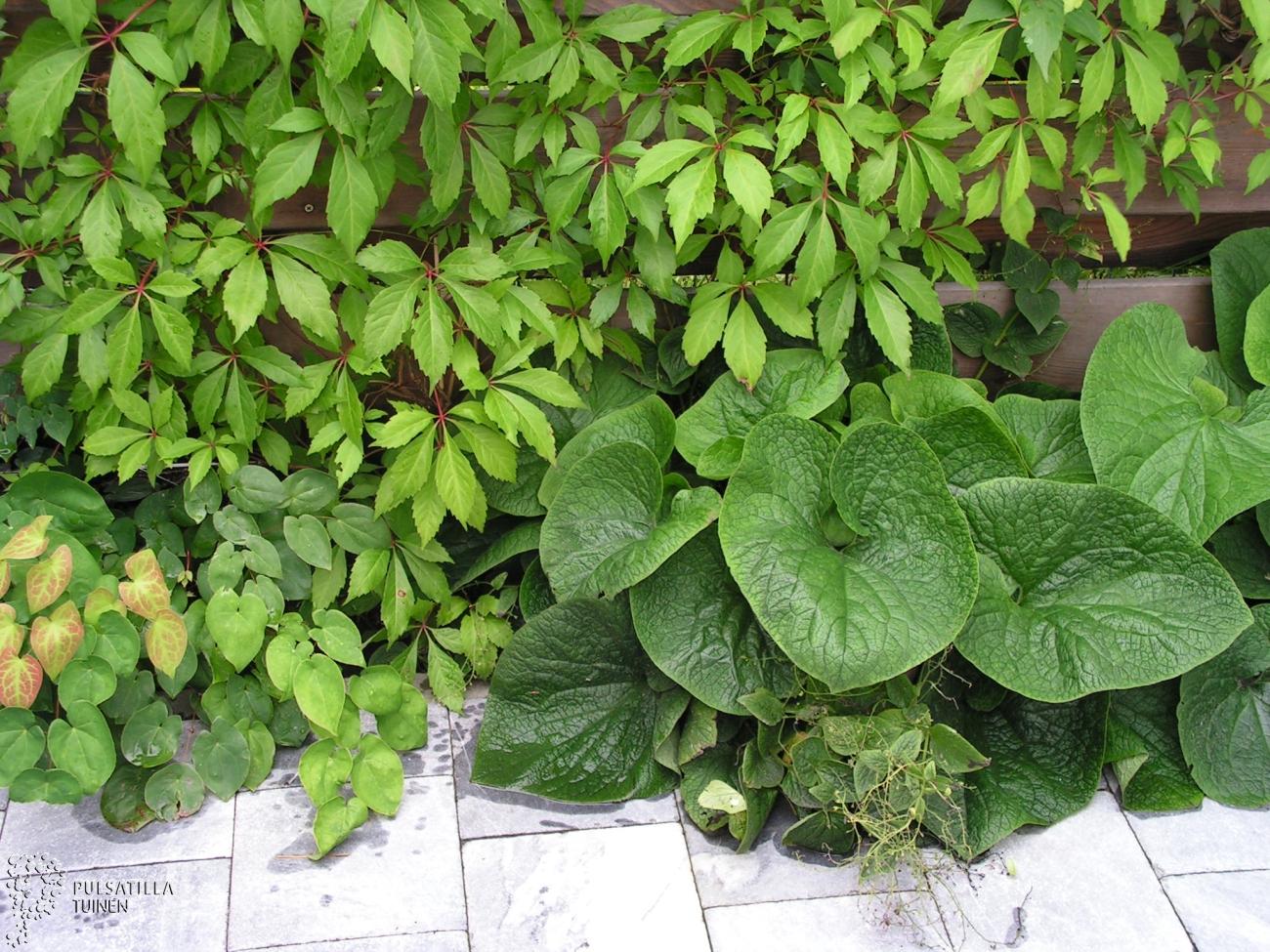 schaduwplanten halfschaduwplanten